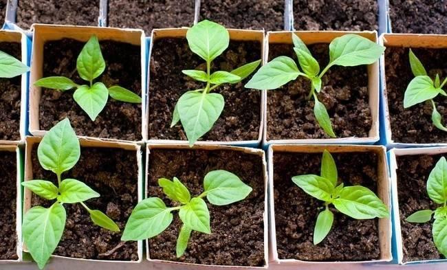 Горький перец чили: выращивание из семян на огороде