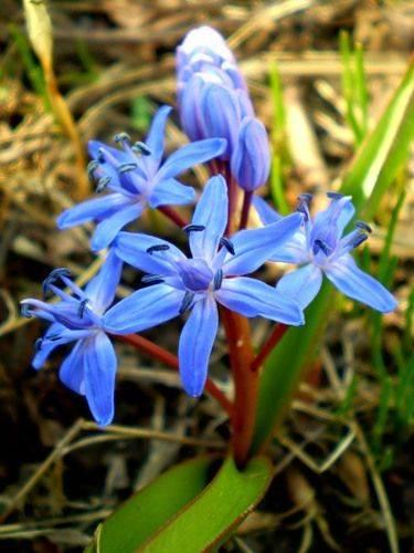 Цветок сцилла (пролеска): 57 фото, пролесковидная, перуанская, двулистная, колокольчатая, сибирская, уход, посадка, видео