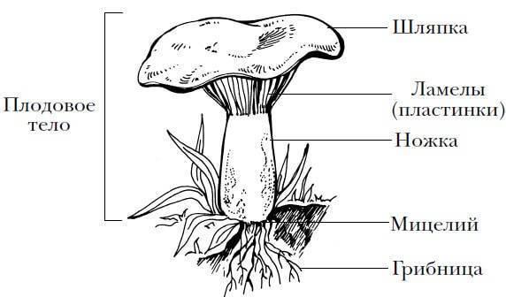 Шляпочные грибы. характеристика, жизнедеятельность, особенности строения