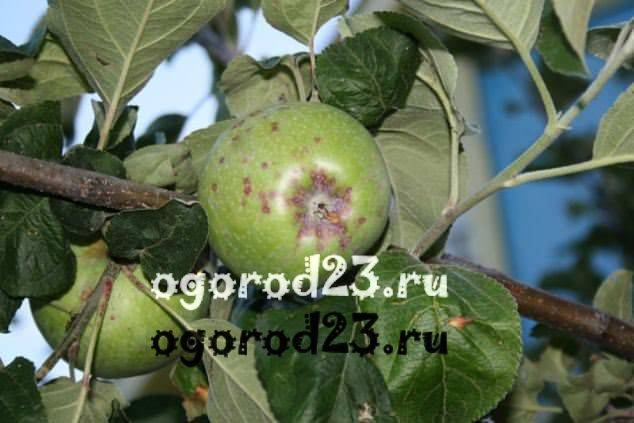 Как вылечить яблоню от парши: доступные и эффективные меры борьбы и профилактики