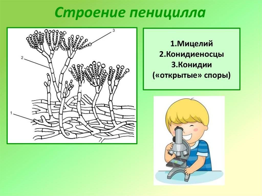 Род penicillium