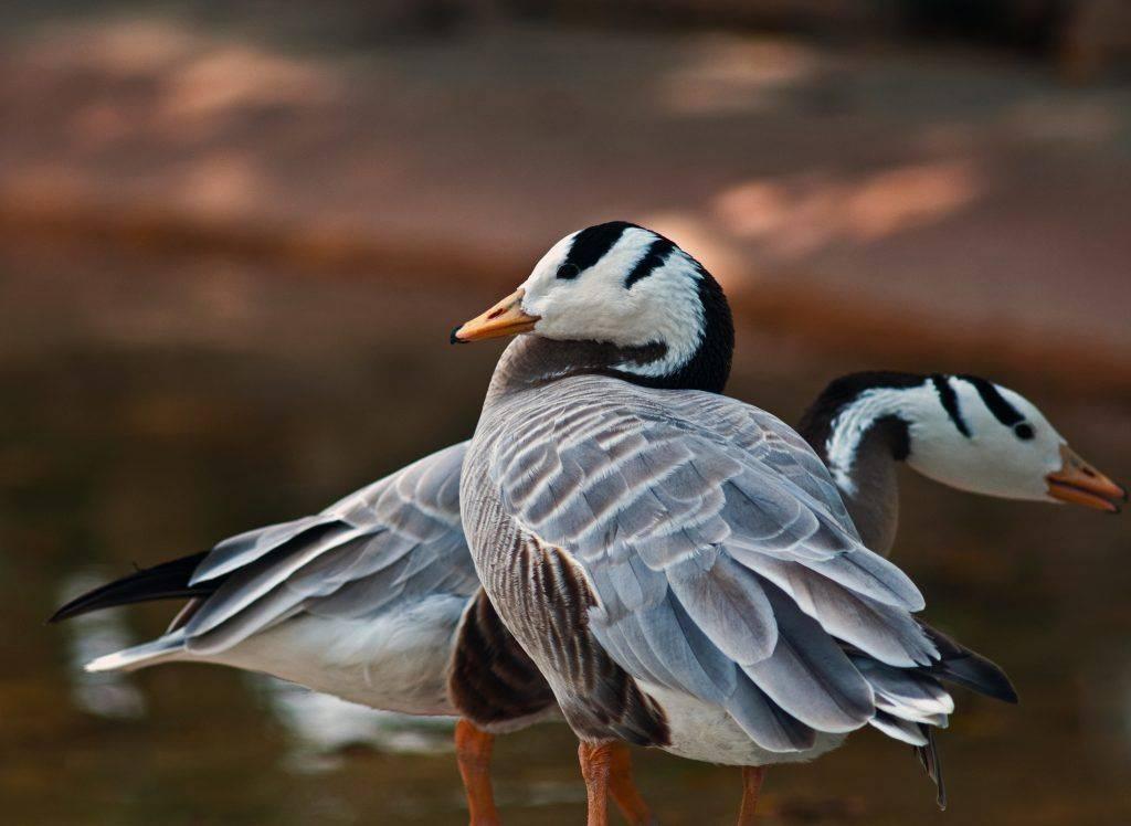 Обзор и описание всех пород гусей