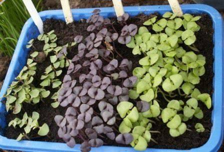 Базилик: температура выращивания на грядке в открытом грунте, полив и другие нюансы ухода за ним, а также какое похолодание выдерживает и как заботиться дома? русский фермер