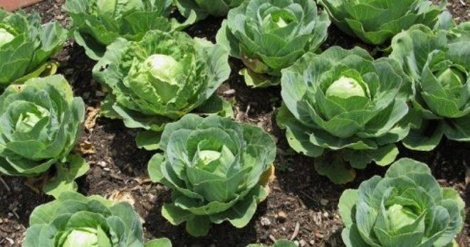 Брюссельская капуста: выращивание на огороде, сорта