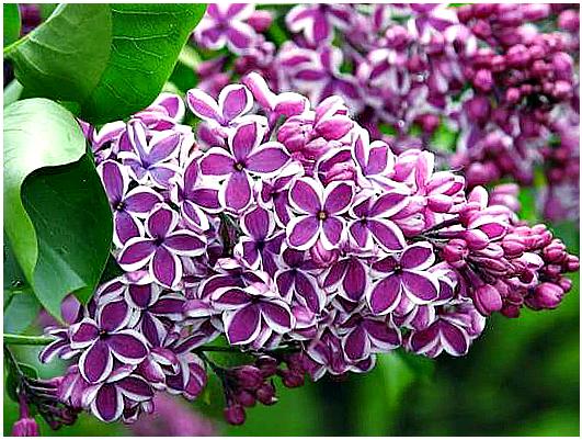 Персидская сирень (syringa persica): сорта с фото и описанием, отзывы