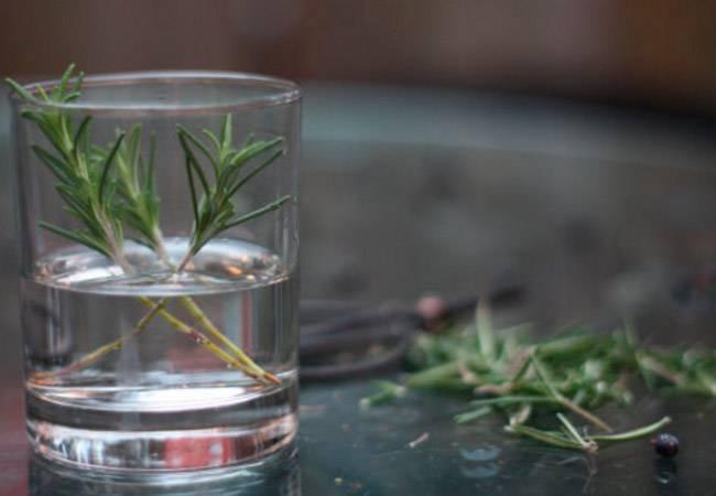 Размножение розмарина черенками в домашних условиях