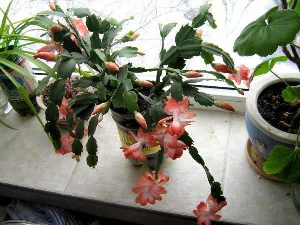 Прекрасный декабрист — описание видов, фото популярных разновидностей цветка