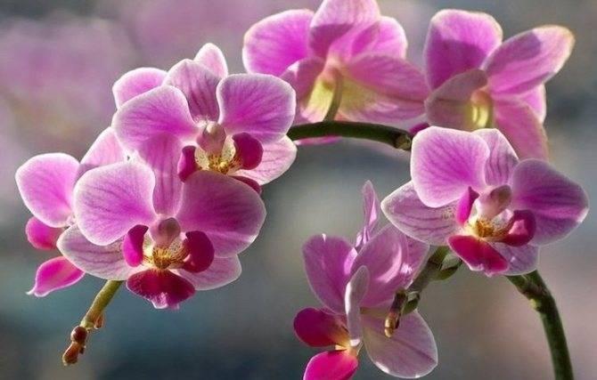 Что делать, если орхидея засохла - как спасти цветок