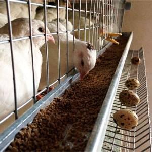 Чем кормить перепелов в домашних условиях, чтобы они хорошо неслись?