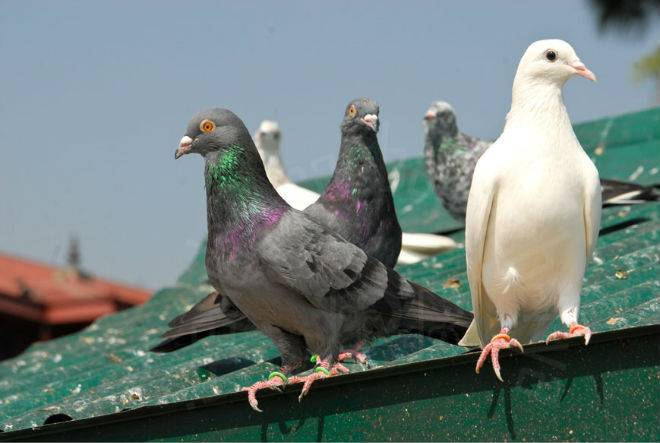 Как приготовить голубя, можно ли есть голубиное мясо, рецепт блюд с фото
