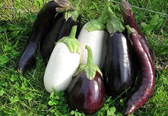 Чем подкормить рассаду баклажанов чтобы были толстенькие