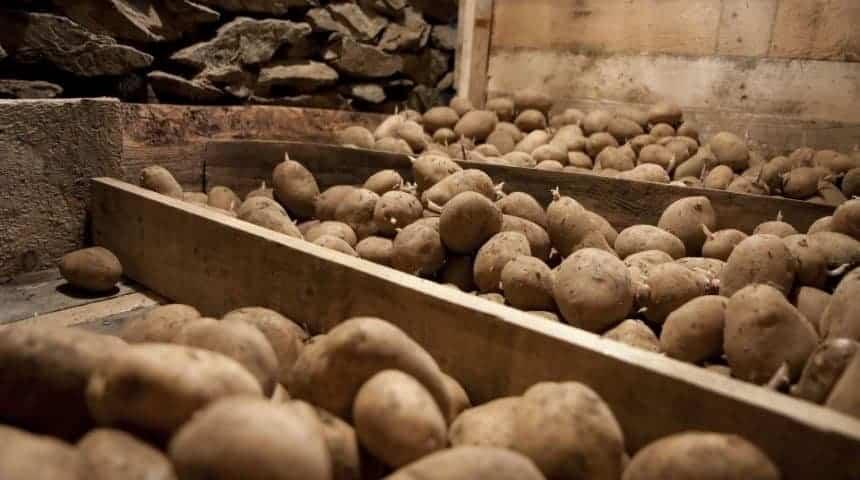 Гниль сухая клубней картофеля
