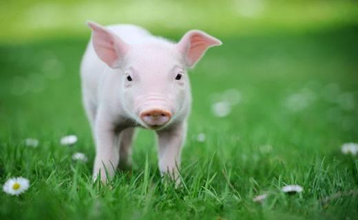 К чему снится свинья женщине по сонникам