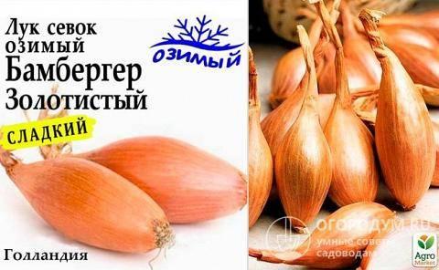 Лук «бамбергер»: описание характеристик. посадка, уход и выращивание репчатого сорта из семян и севка (фото)