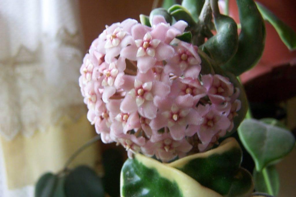 Хойя комнатная: фото цветов, описание видов, уход в домашних условиях