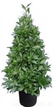 Всё про выращивание лаврового листа в домашних условиях