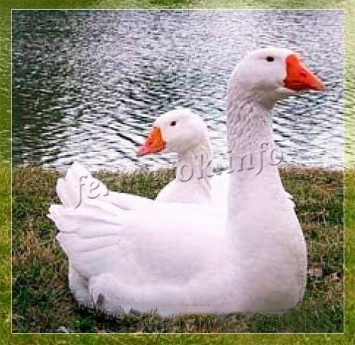 Белые итальянские гуси — характеристика и описание породы