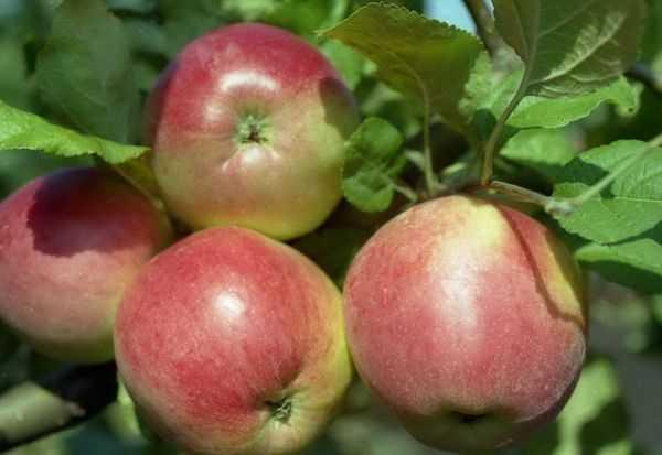 О яблоне веньяминовское: описание сорта, характеристики, агротехника