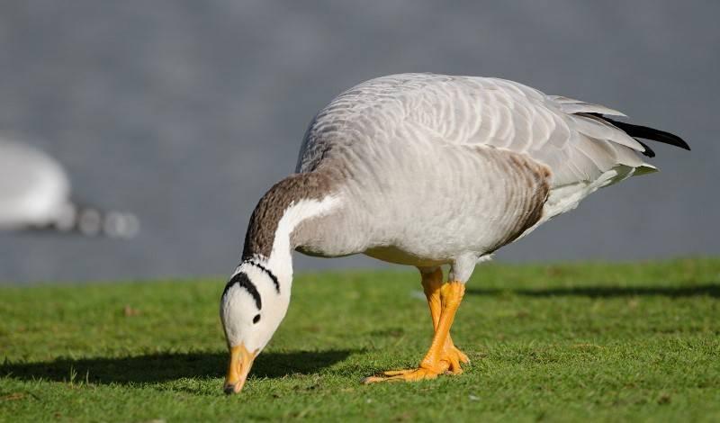 Чем и как можно кормить гусей