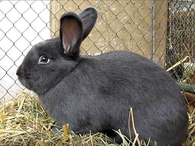 Венский голубой кролик: описание породы, характеристики продуктивности