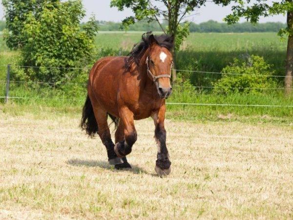Арденская лошадь: фото, характеристика породы, содержание и уход