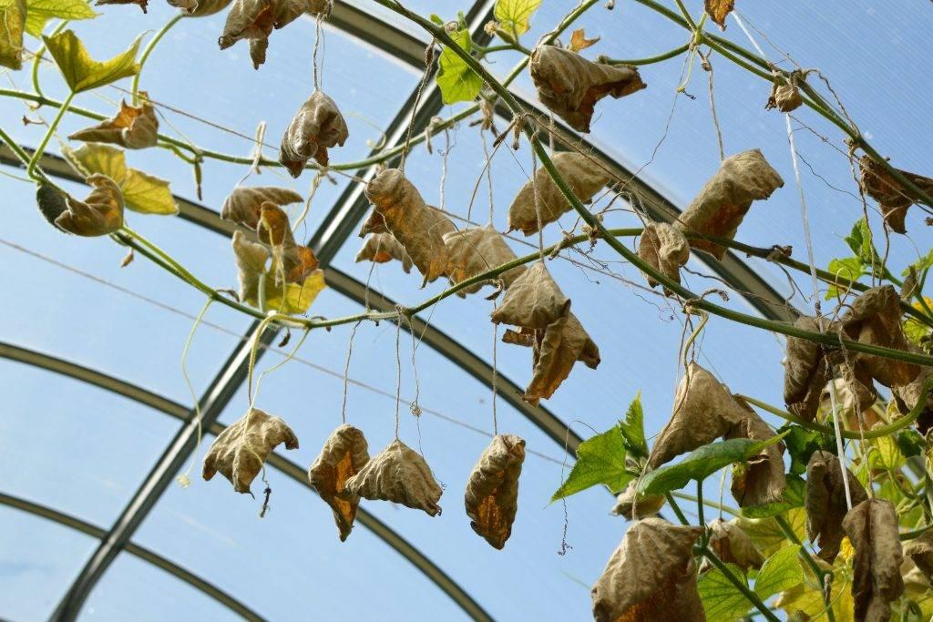 У огурцов вянут листья в теплице, что делать?