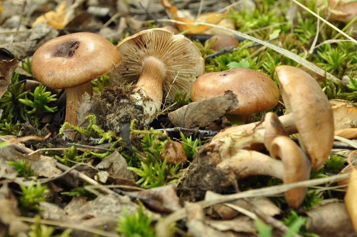 Рядовка пятнистая (tricholoma pessundatum), или рядовка погубленная: фото и описание ядовитого гриба