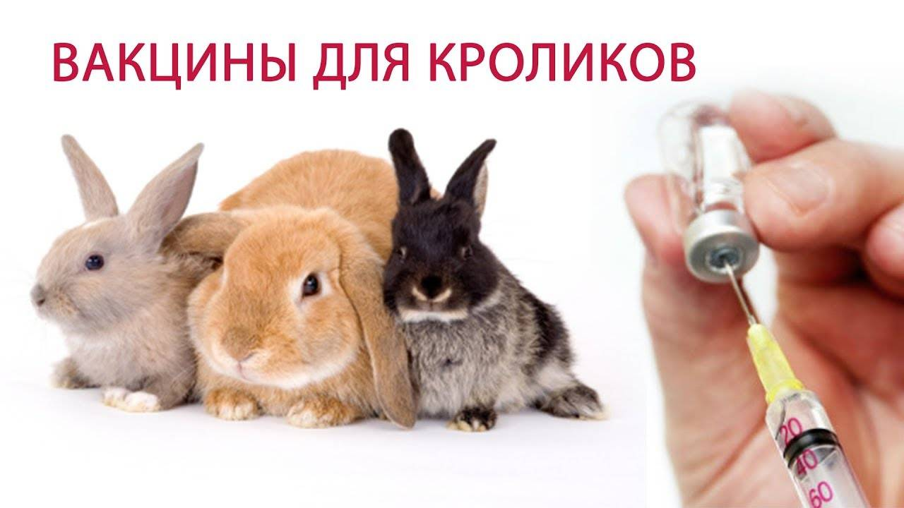 Вакцинация кроликов: какие прививки, когда делать?