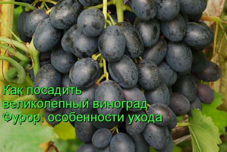 Виноград фурор: описание сорта с характеристикой и отзывами, особенности посадки и выращивания, фото
