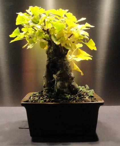 Стоит ли выращивать гинкго на подмосковном участке?