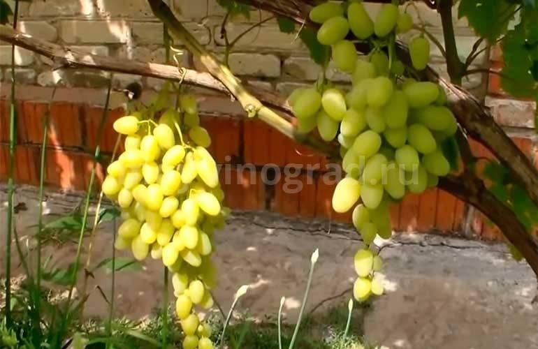 """Виноград """"зарница"""": описание сорта, фото, отзывы"""
