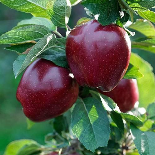 Яблоня «ред делишес»: описание сорта, фото и отзывы