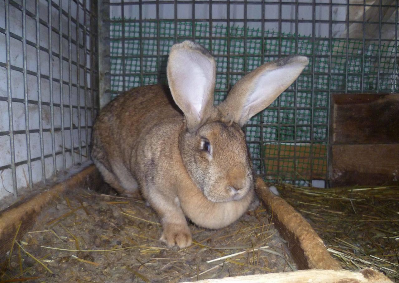 Кролик ризен (немецкий гигант): описание породы, фото, содержание, уход и кормление