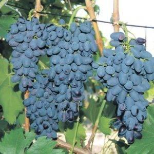 Подготовка почвы и посадка винограда саженцами или черенками весной