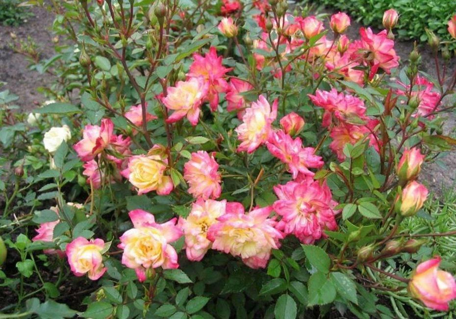 Популярные сорта полиантовых роз и особенности их выращивания из семян