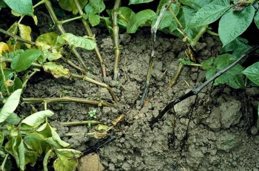 Причины почему у картофеля чернеет и сохнет ботва: методы лечения