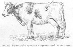 Cтоит желудок у коровы: что делать и как лечить?
