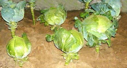 Как хранить капусту в пищевой пленке. как хранить капусту в течение 12 месяцев, хранение капусты зимой в пищевой пленке