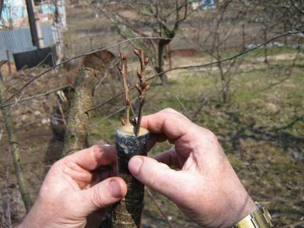 Весенняя заготовка черенков для прививки плодовых