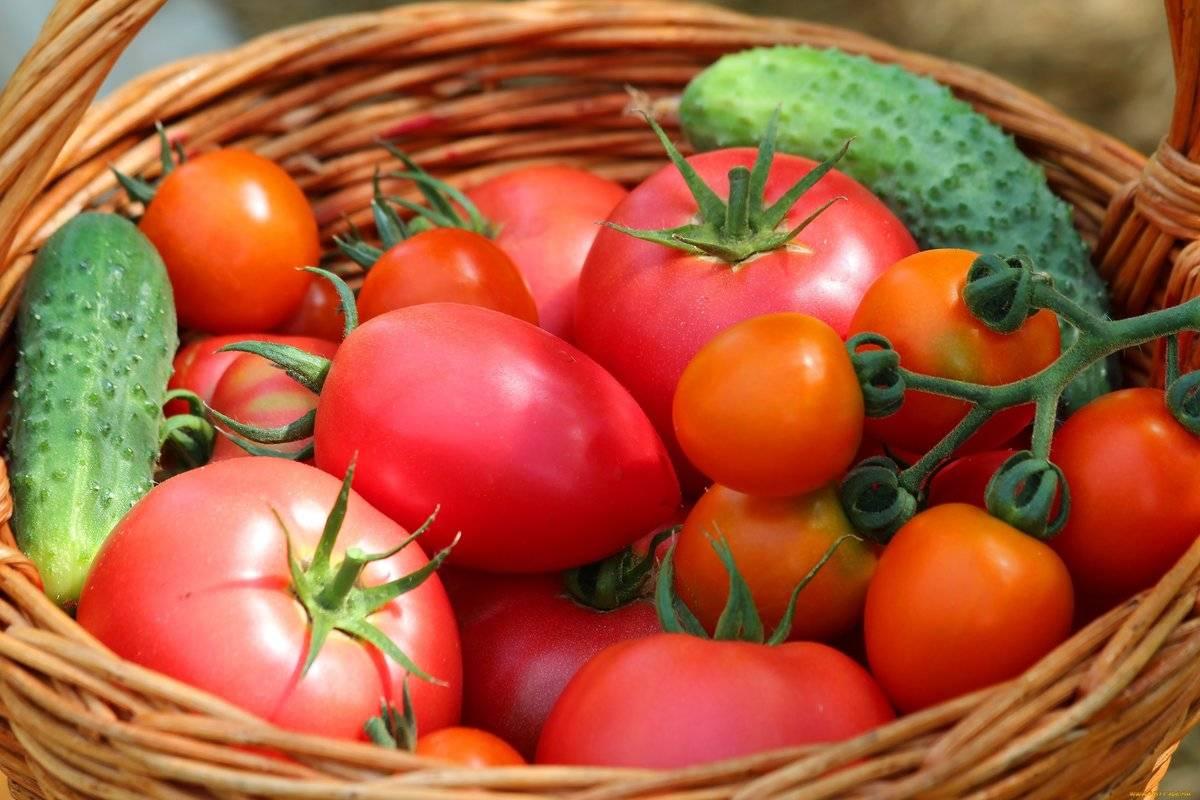 Какие сидераты сажать осенью в теплице для помидор
