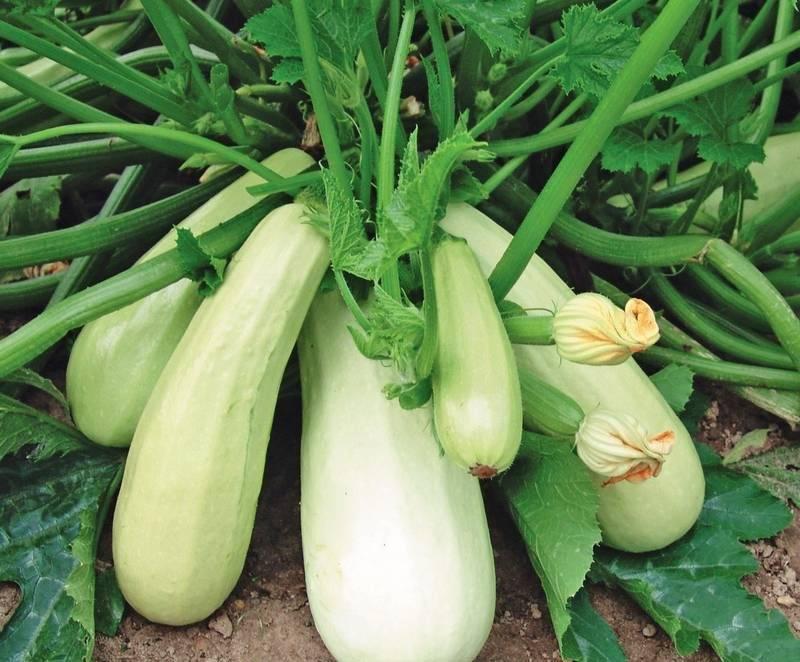 Выращивание кабачка и уход за растением, в том числе в украине, сибири, подмосковье и в других регионах