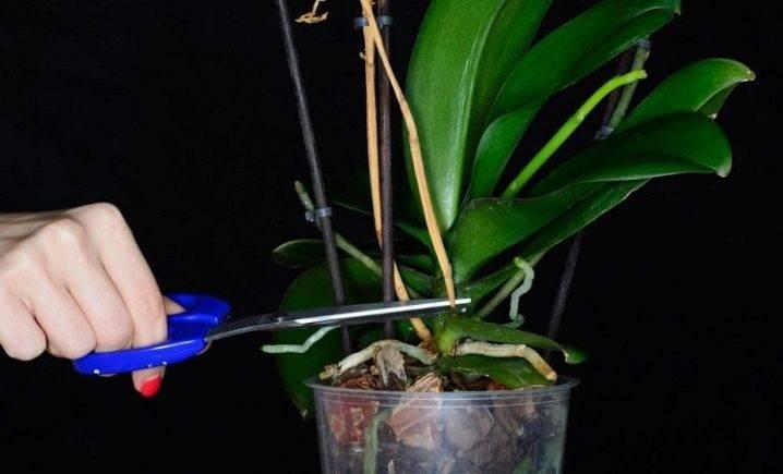 Узнайте, как омолодить орхидею фаленопсис