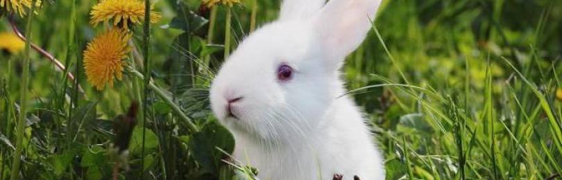 Можно ли давать кроликам одуванчики с листьями, видео и фото