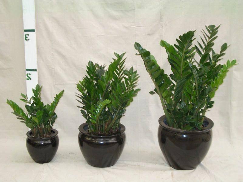 Как укоренить замиокулькас стеблем или листом в воде и грунте: советы по разведению долларового дерева через черенок (ветку) или зелень, возможные проблемы и дальнейший уход