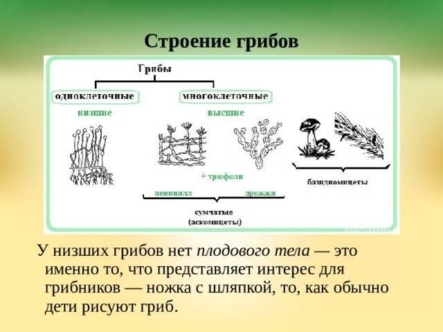 Разнообразие грибов: низшие грибы, высшие грибы и шляпочные грибы. съедобные, несъедобные и ядовитые грибы   биология