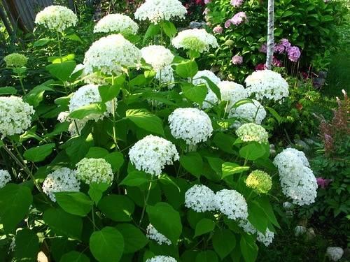 Крупнолистные крупноцветковые гортензии макрофилы: описание сортов, как посадить