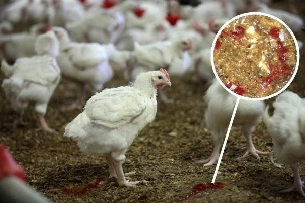 Кокцидиоз у кур и других птиц – симптомы, лечение и профилактика