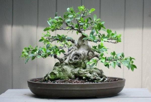 Фикус бонсай - разновидности и советы по уходу. оформление деревца своими руками (140 фото)