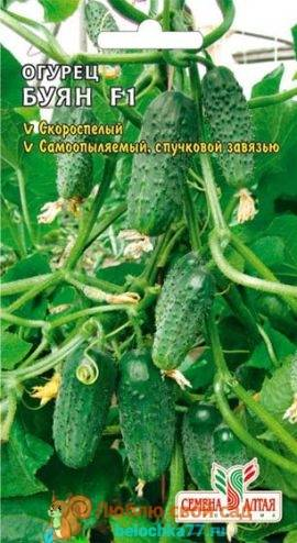 Гибридный сорт огурцов «берендей f1»: богатый урожай на балконе, окне и лоджии