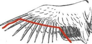 Как правильно подрезать уткам крылья: советы и фото как правильно подрезать уткам крылья: советы и фото